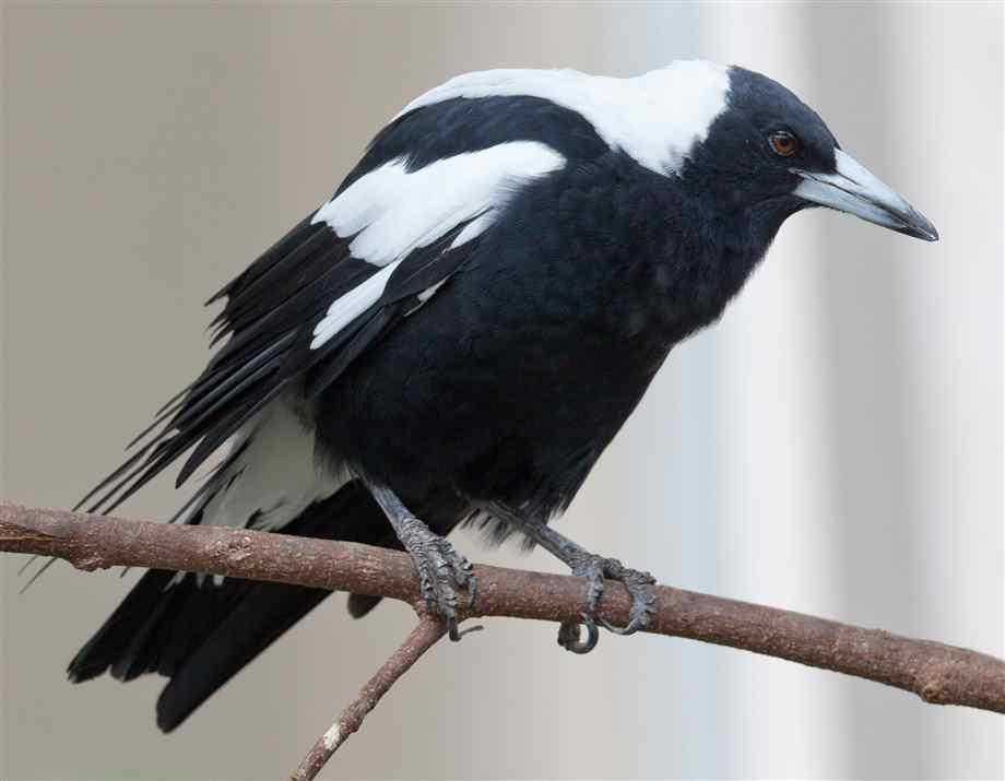 australian singing crow closeup 1