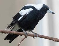 australian singing crow closeup 1