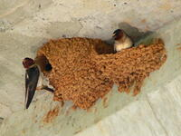 Cliff Swallow 27527 2