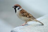 Tree Sparrow Japan Flip